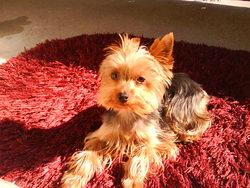Kyo, chien Yorkshire Terrier