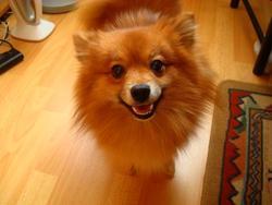 Kyona, chien Spitz allemand