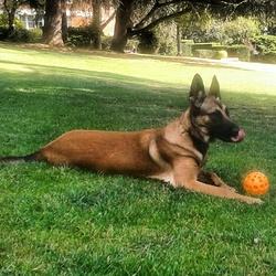 Kyra, chien Berger belge
