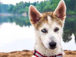 Kyra, chien Husky sibérien
