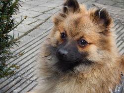 Kyra, chien Spitz allemand