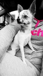 Kyra, chien Chihuahua