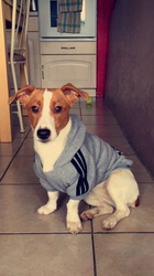 Kyra, chien Jack Russell Terrier