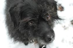 Kyra, chien Berger des Pyrénées