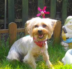 Kyria, chien Yorkshire Terrier