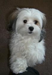 Kyria, chien Coton de Tuléar