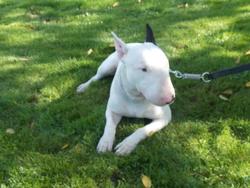 Kyser, chien Bull Terrier