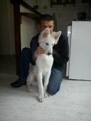 Kyson, chien Berger blanc suisse