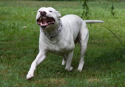 Kyson, chien Dogue argentin