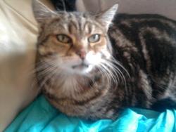 Kytie, chat Européen