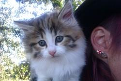 Kyttie, chat Persan