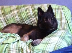 Kyu, chien Berger belge