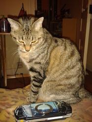 Kyuri, chat Européen