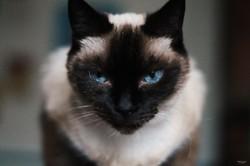 Kyûu, chat Siamois