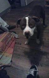 Kyzer, chien American Staffordshire Terrier