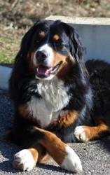 Léia, chien Bouvier bernois