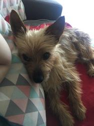 Léonard, chien Cairn Terrier