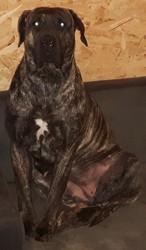L'Khira, chien Dogo canario