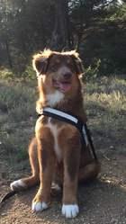 L'Ours Rouge, chien Berger australien