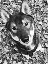 L'Yama No Kuma Go, chien Shikoku