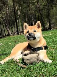 L'Yama No Yuki Go, chien Shiba Inu