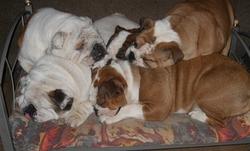 La Bande A Jojo, chien Bulldog