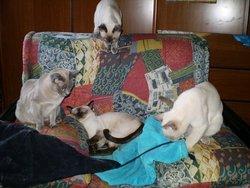 La Famille Tonkinoise, chat Tonkinois