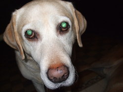 La Goulue, chien Labrador Retriever