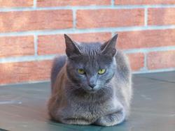 La Puce, chat Bleu russe