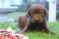 Labrador, chiot Labrador Retriever