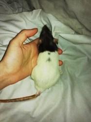 Labyrinthe, rongeur Rat