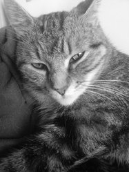 Lacaille, chat