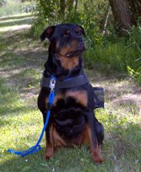 Lacky, chien Rottweiler