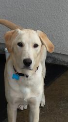 Lacoste, chien Labrador Retriever