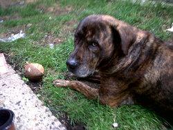 Lacy, chien Mastiff