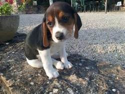 Lady, chien Beagle
