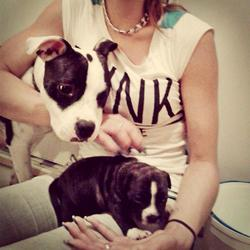 Lady, chien Staffordshire Bull Terrier