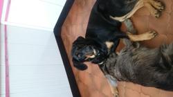 Lady, chien Beauceron