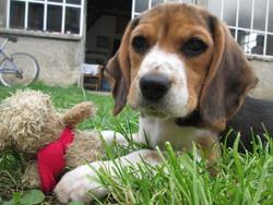 Chipie  , chien Beagle