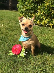 Lady, chien Chihuahua