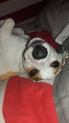 Lady, chien Jack Russell Terrier