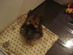 Lady, chien Spitz allemand