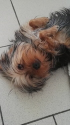 Lady, chien Yorkshire Terrier