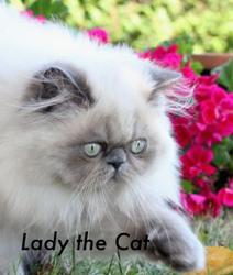 Lady, chat Persan
