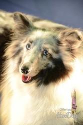 Lady, chien Berger des Shetland