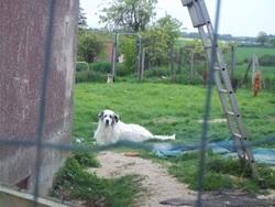 Lady, chien Chien de montagne des Pyrénées