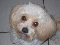 Lady, chien Bichon havanais