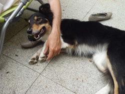 Lady, chien Border Collie