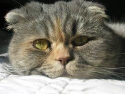 Lady, chat Scottish Fold à poil long