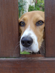 Lady, chien Beagle-Harrier